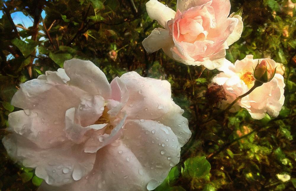 rose_after_rain4